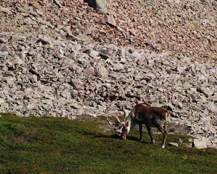 <html><span class=fre>Caribou - Sentier James Callaghan, parc national de Gros Morne, Terre-Neuve</span> <span class=eng>Cariboo - James Callaghan trail (Gros Morne mountain) - Gros Morne national par