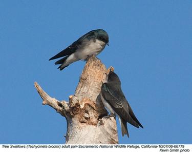 TreeSwallowsP66779.jpg