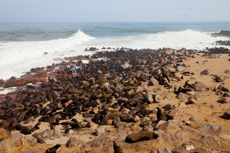 CAPE CROSS SEAL RESERVE, NAMIBIA - Thousands of seals gather on the shore and in the water.