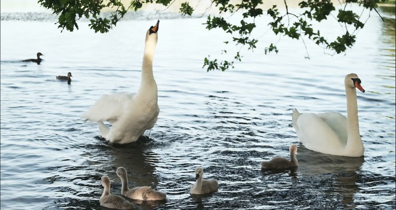 cygnets of castletown with edits.mp4