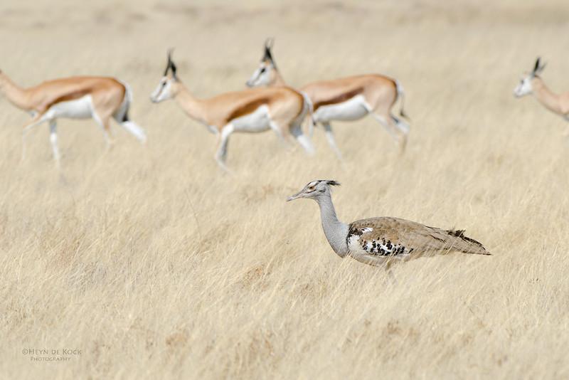 Kori Bustard & Springbuck, Etosha NP, Namibia, July 2011.jpg