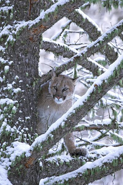 Mountain Lion vertical in snow tree w moss.jpg