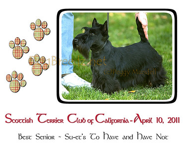 Scottish Terrier Club 2011 Spring Puppy Match - Best Senior
