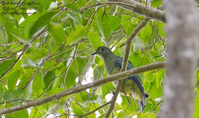 Pigeons, Doves Family Columbidae
