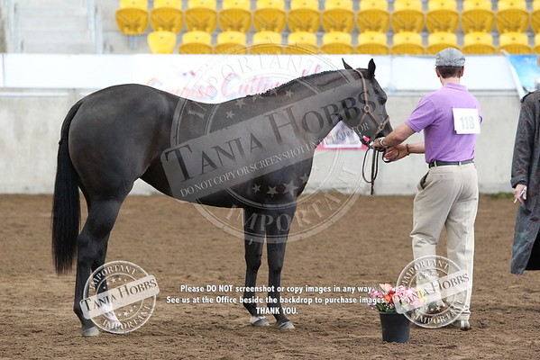 27Paint Bred Yearling Hunter In Hand