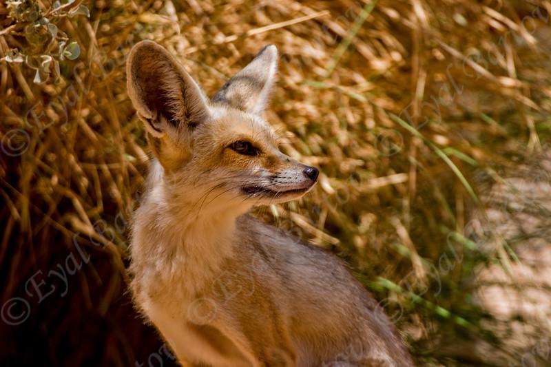 Rüppell's Fox (Vulpes rueppellii) - שועל חולות