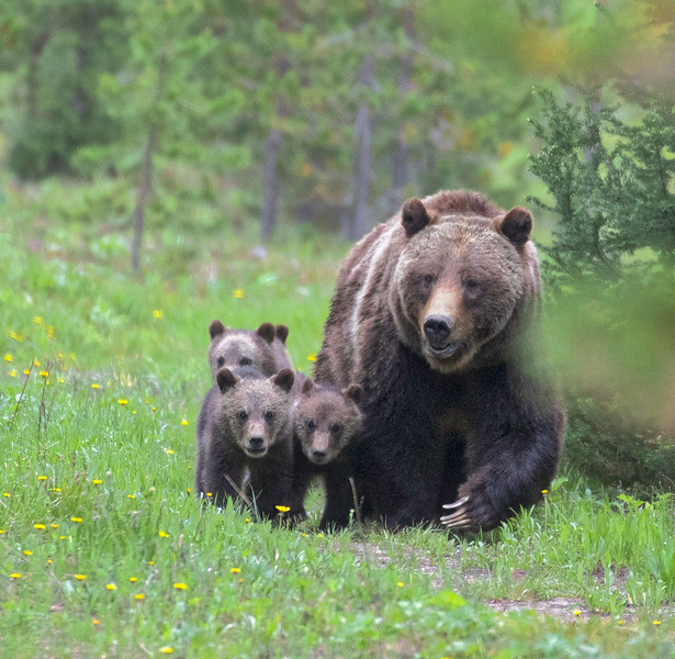 Grizzly 399 with 4 cubs (coy) 2020