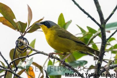 Masked Yellowthroatl, State Atlantic Rainforest Park Ubatuba, Brazil