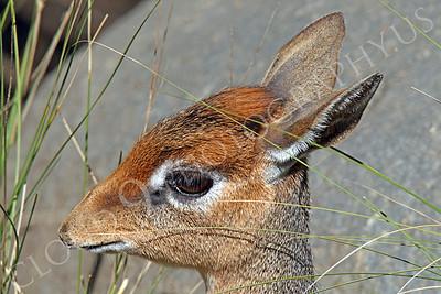Cavendish's Dik Dik Wildlife Pictures