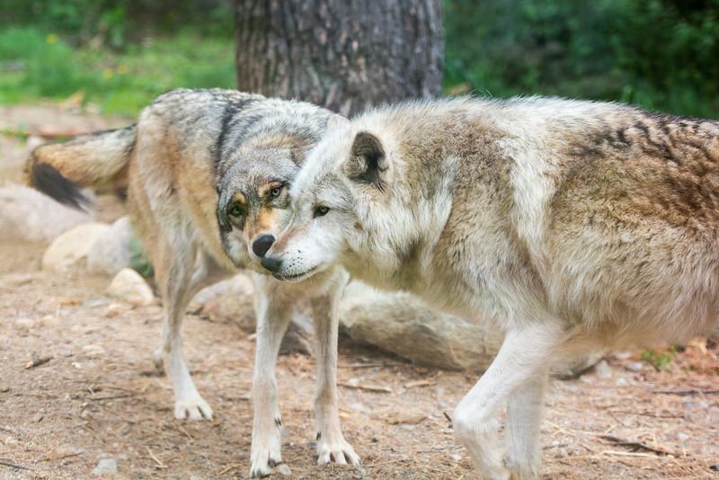 2016 Wolf Institute - Ely, MN-6.jpg