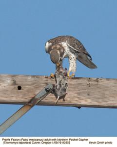 Prairie Falcon A & Norther Pocket Gopher 80355.jpg