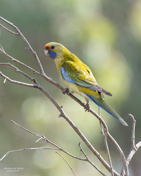 Yellow Rosella, Hattah Kulkyne NP, VIC, Aus, Nov 2014-3.jpg