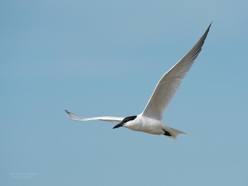 Gull-billed Tern, Lake Wollumboola, NSW, Nov 2014-1.jpg