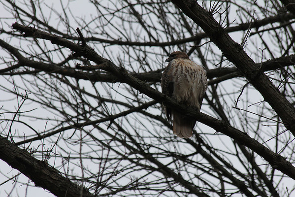 Red Tailed Hawk 2011-12-05