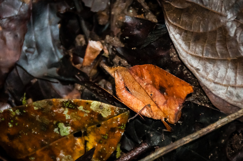 INSECT - leaf insect-1156.jpg