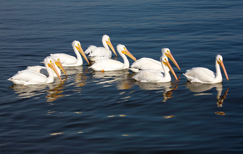 And we see a group of White Pelicans.
