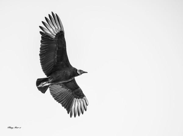 B&W Vulture_DWL9280.jpg