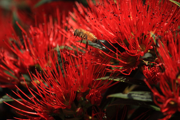 New Zealand Rata with Italian honey bee
