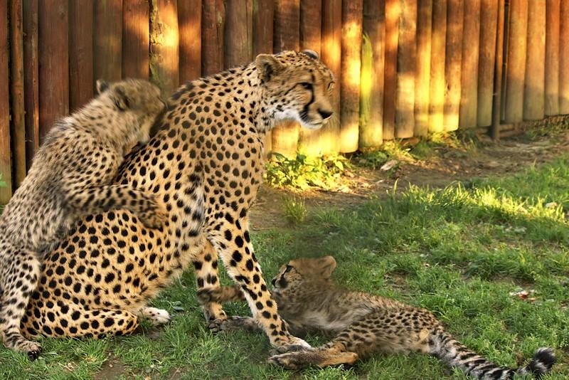 Z největšího řádění (proto je to poněkud rozmazané). Zatímco jeden mrňous matce útoči na přední packu, druhý se jí odhodlaně zakusuje do zad.