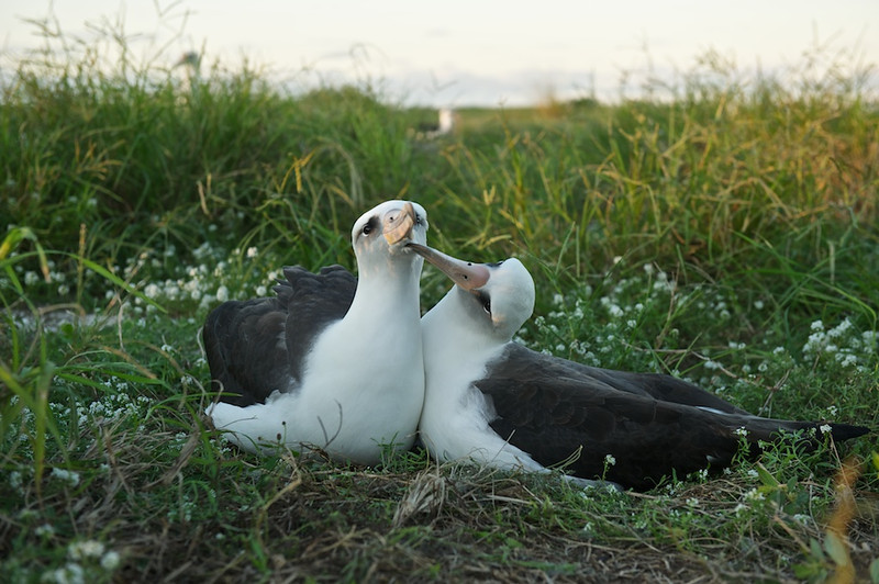 Mating Pair, Layson Albatross - Midway Island, North Pacific  Showing behavior is always an objective of any nature photographer.  Having a couple show behavior alsways seems to attract attention.  I like this image because it's looks like one is caring for the other.