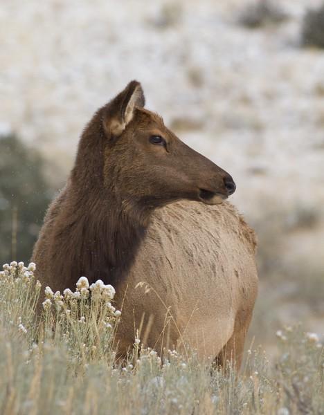Elk cow Yellowstone WY IMG_0005105.jpg