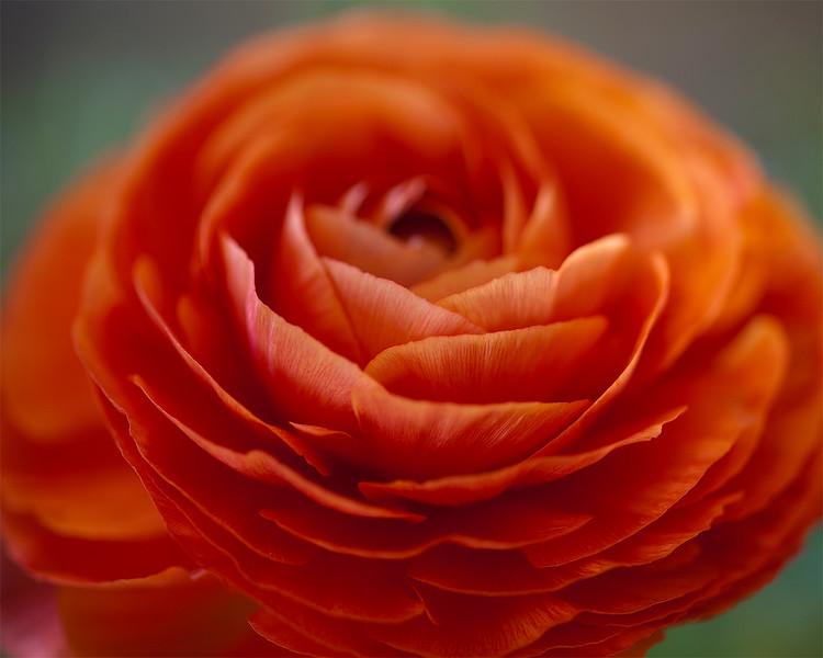 orange ranunculus.jpg