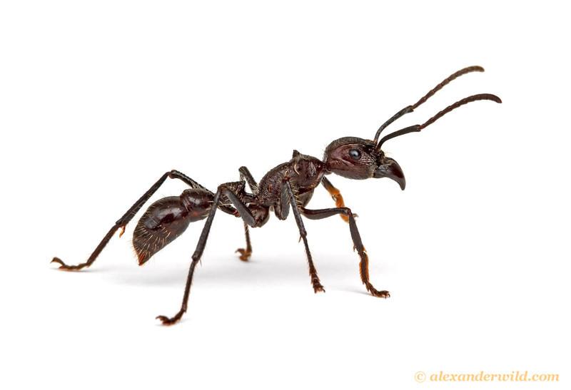 Paraponera clavata, the bullet ant.