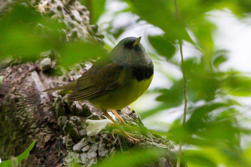 Mourning Warbler male at Radnor Lake, Nashville, TN (05-11-2013)-2.jpg