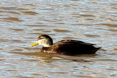 Ducks - Dablers