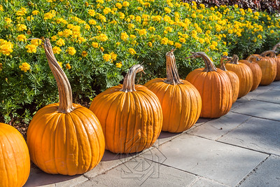 Row of large pumpkins with long stems