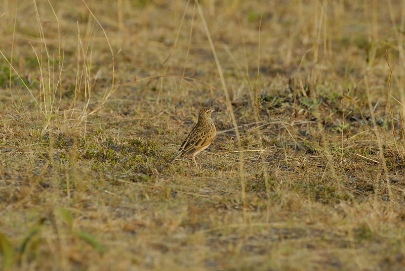 Fawn-colored Lark.JPG