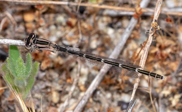 Odonata at Jasper Ridge