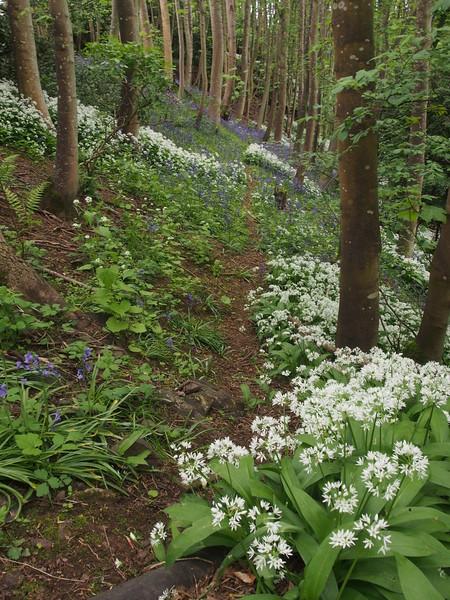 Wild garlic in the Den of Balruddery.  3.15pm, 23/05/15