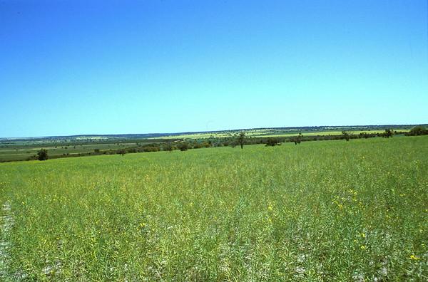 Canola in Western Australia, Australia