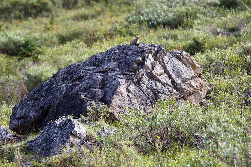 Arctic ground squirrel on rock outcropping