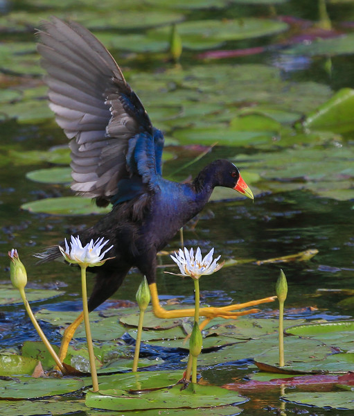 zAnahuac 8-21-14, Old T3i, 085A, PG adult, wings up, on Lilies (1 of 1).jpg