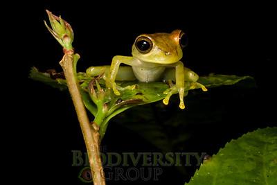 Large Neotropical Treefrogs (Hypsiboas)