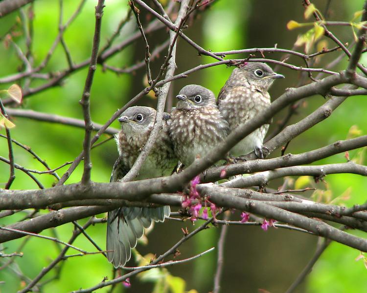 bluebird_fledgling_5193.jpg