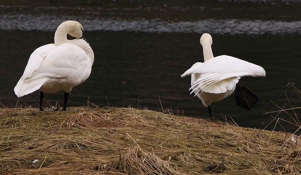 Starrigavan Swans