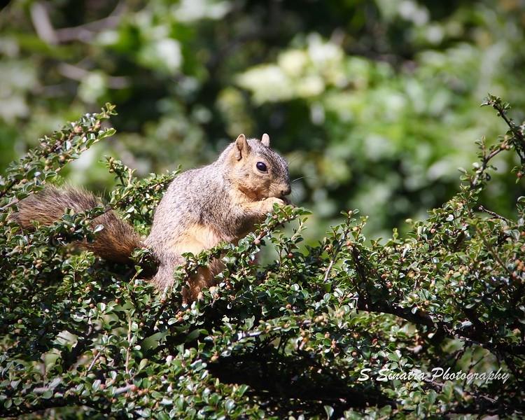 LA Squirrel