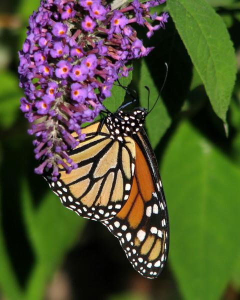 monarch_butterfly_6298.jpg