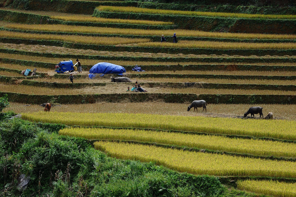 . This picture taken on October 2, 2013 shows Hmong hill tribe families harvesting rice on terrace rice fields in Mu Cang Chai district, in the northern mountainous province of Yen Bai. The local residents, mostly from the Hmong hill tribe, grow rice in the picturesque terrace fields whose age is estimated to hundreds years. Due to hard farming conditions, especially irrigation works, locals produce only one rice crop per year. In recent years a growing numbers of tourists have been attracted by the beautiful landscapes created by the region\'s rice terrace fields.  HOANG DINH NAM/AFP/Getty Images