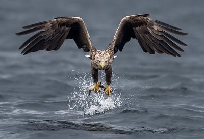 Sea Eagle over sea - Norway