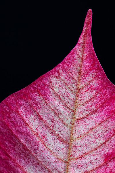 poinsettia-leaf-02.jpg