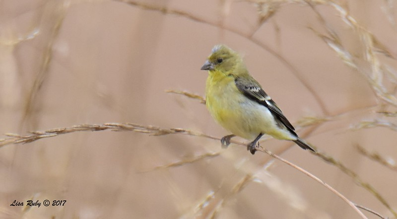 Lesser Goldfinch  - 6/21/2017 - Penasquitos Canyon West