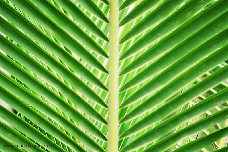 www Thailand, Coconut Palm copy.jpg