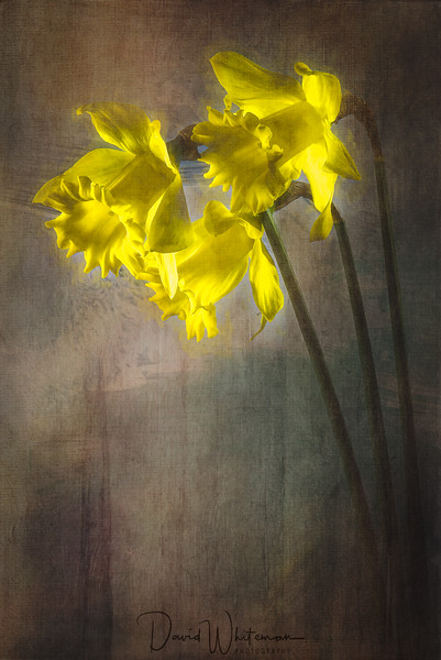 Daffodils on a Rainy Day