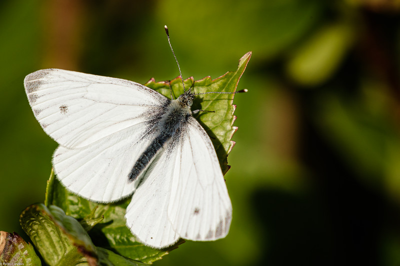 Orange-Tip - female
