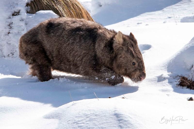 Wombat 9 aug 8  2019_1.jpg