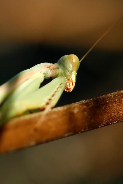 Preying Mantis, Maricopa, AZ